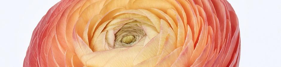 IFD_Flower_Trends_VibrantVibe_Ranunculus